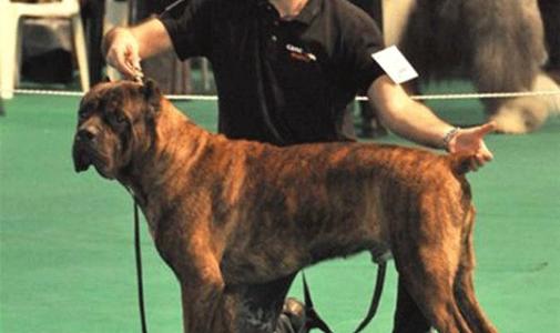 Our dog Cane Corso: Orlando