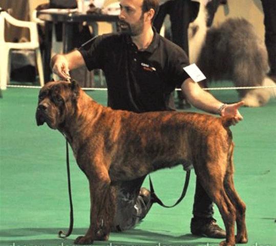 Ο σκύλος μας Cane Corso: Orlando