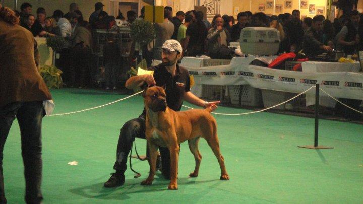 Ο σκύλος μας Cane Corso: Bruno