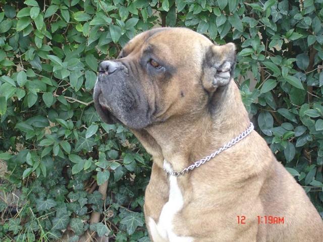Ο σκύλος μας Cane Corso: Romeo