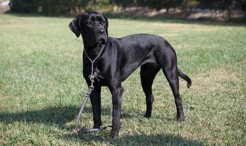 Our dog Cane Corso: Forza di razza Giulietta