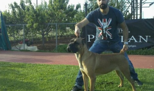 Our dog Cane Corso: Brada