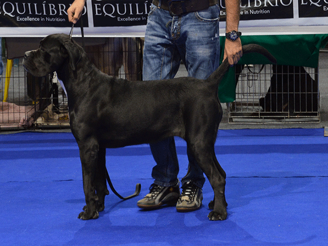 Our dog Cane Corso: Championesa Custodi Nos