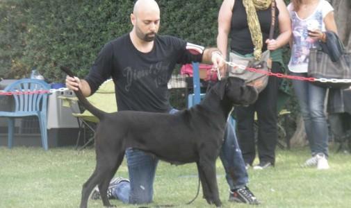 Ο σκύλος μας Cane Corso: Hebe Dell' Antico Cerberus