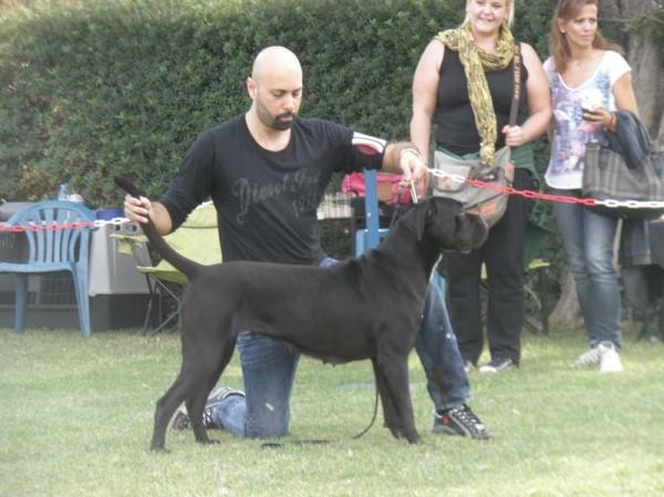 Our dog Cane Corso: Hebe dell Antico Cerberous