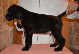 Male Puppy Cane Corso – A