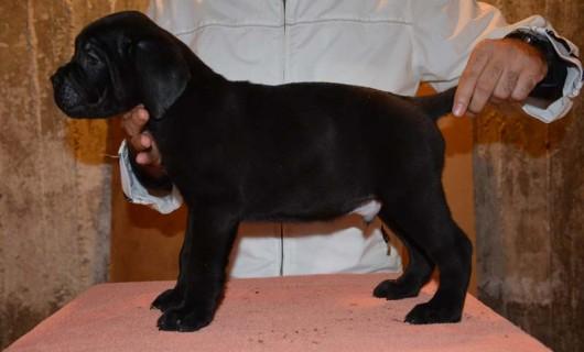 Male Puppy Cane Corso – B
