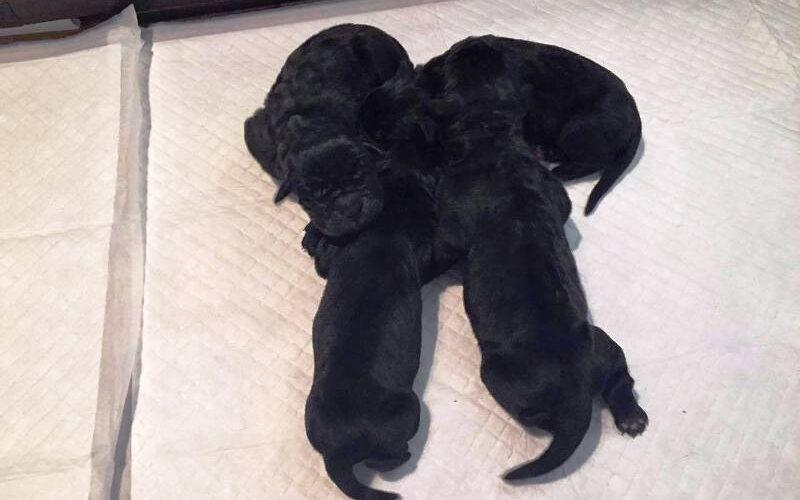 Γεννήθηκαν νέα κουτάβια κάνε κόρσο – θηλυκά & αρσενικά